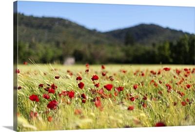 Poppy field in the wind, Signes