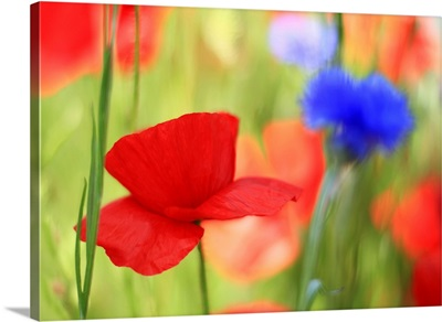 Poppy field with cornflowers, Vancouver, BC.