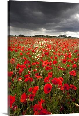 Poppy field with stormy sky in background.