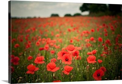 Poppy fields.