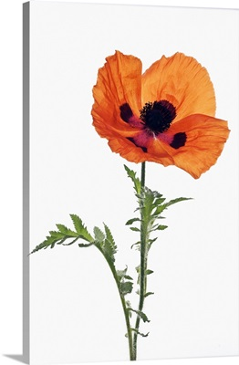 Poppy 'Mandarin', June