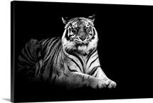 Portrait of tiger on black background.
