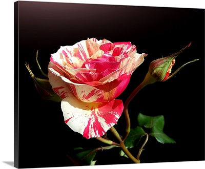 Pretty colored rose with two buds on black background.
