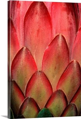 Protea Flower Petals