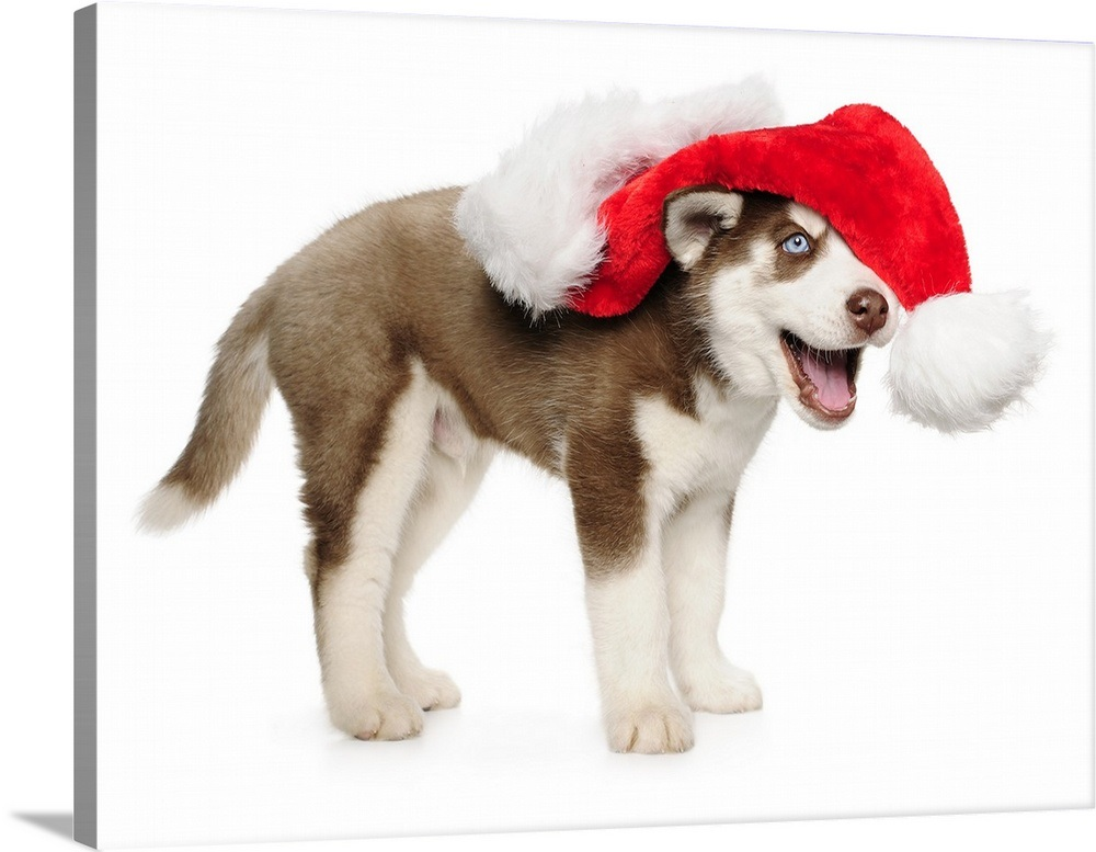 Husky Christmas Puppy.Puppy Husky With A Christmas Hat
