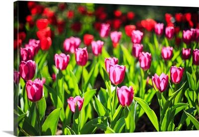 Purple and red tulips under sun light