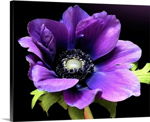 Purple Anemone Flower On Black Background Wall Art
