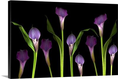 Purple calla lilies on black background.