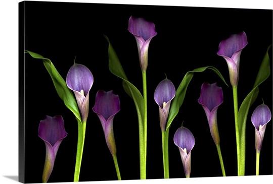 Minimalist a frame house - Purple Calla Lilies On Black Background Photo Canvas