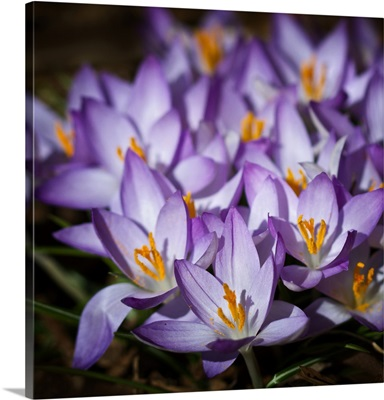 Purple crocus in spring.