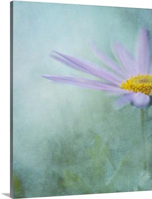 Purple daisy in mist with painterly texture, Australia.