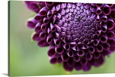 Purple Dalia flower.