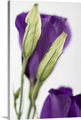 Purple flower with buds