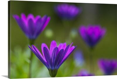 Purple Marguerite in bokeh.