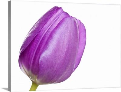 Purple tulip head