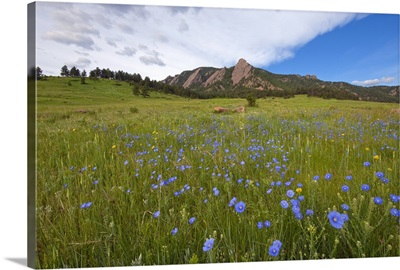 Purple wildflowers in Boulder, Colorado with mountains in background.