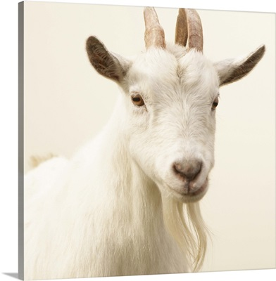 Pygmy Goat, Washington, USA