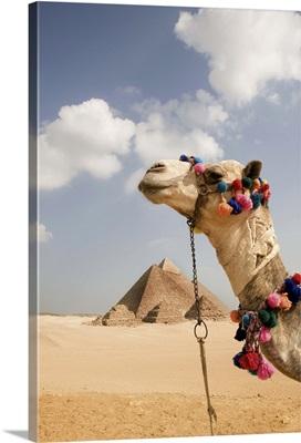 Pyramids at Giza with tourist camel