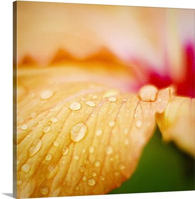 Raindrops on delicate petals