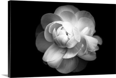 Ranunculus flower in black and white.