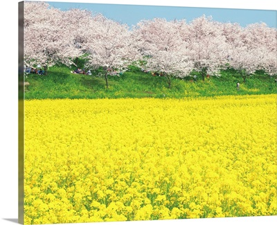Rape Blossom Field Lined With Blossoming Cherry Trees, Satte, Japan