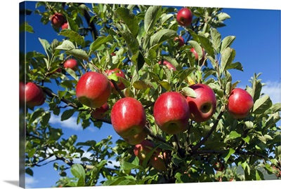 Red Apple hanging on the Tree