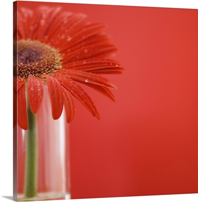 Red daisy in vase
