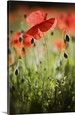 Red field poppies.