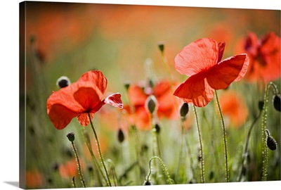 Red field poppies, Cornwall