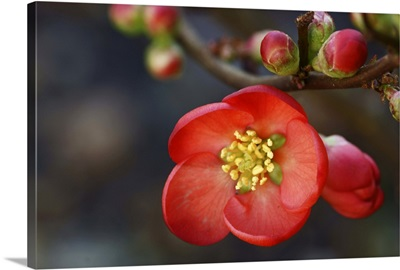 Red flowering quince.