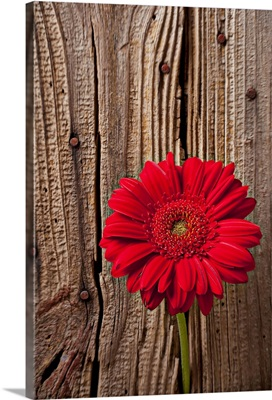 Red gerbera daisy against wooden wall