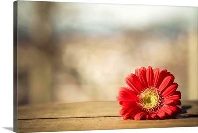 Red Gerbera daisy on wooden crate.