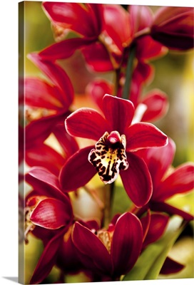 Red Orchid flowers.