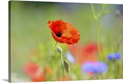 Red poppy and flowers