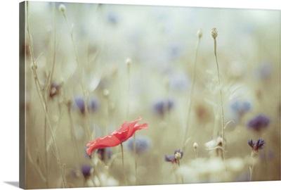Red poppy, blue cornflowers