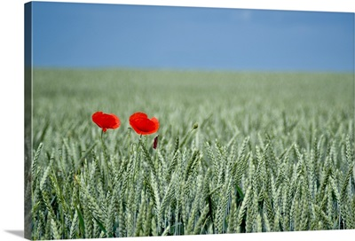 Red poppy flower and buds in field.