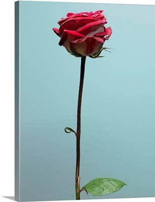 Red Rose With Long Stem