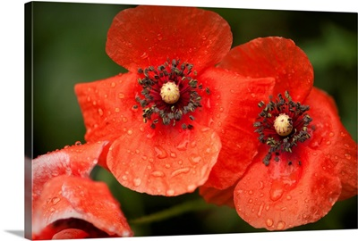 Red Shirley poppy flowers after rain