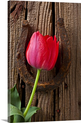 Red tulip and lucky horseshoe on old wooden boards.