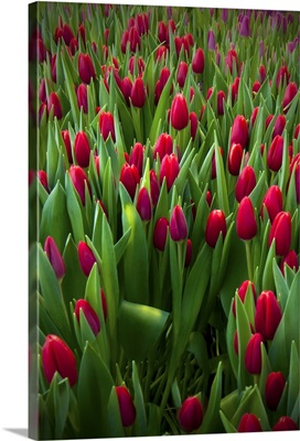 Red tulip field.
