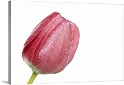 Red tulip head