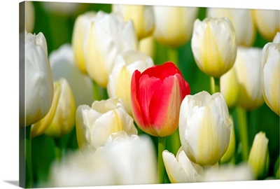 Red Tulip In A Field Of White Tulips