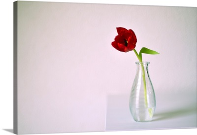 Red tulip in glass vase on white table against white wall, Netherlands.
