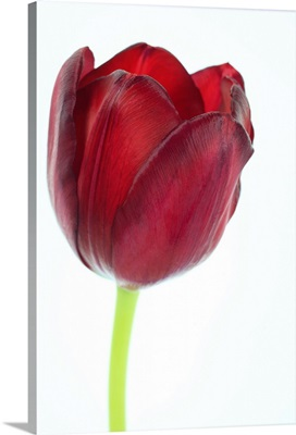 Red tulip petals and stem, on a white background