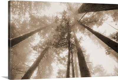 Redwood Forest, Northern California, USA