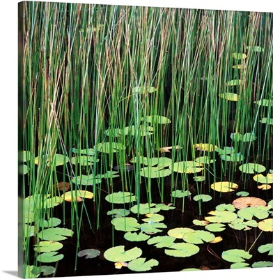 Reed And Water Lillies In Pond, Arcadia National Park, Maine
