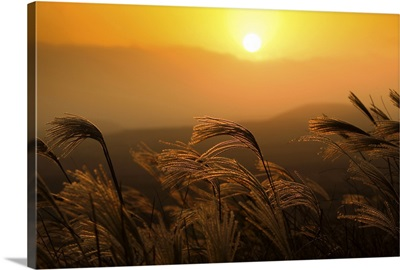 Reeds sway in wind at sunset on one of many mountains on Jeju Island, South Korea.
