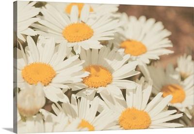 Retro daisies flowers.