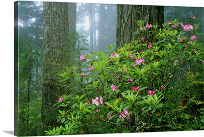 Rhododendrons Among Redwoods