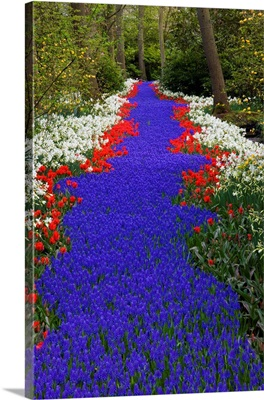 River Of Blue Grape Hyacinths Bordered By Red Tulips In Keukenhof Gardens